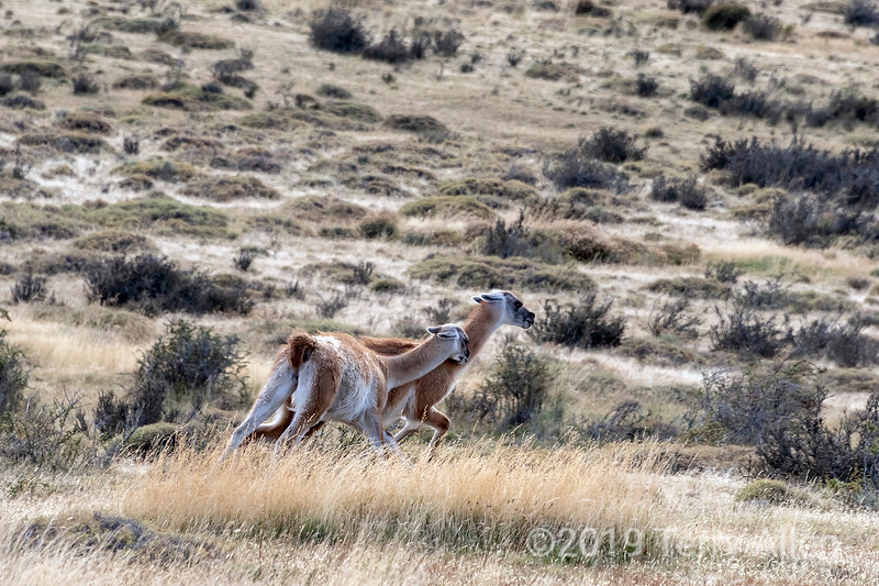 Male guanaco chasing off a competitor, Torres del Paine, Patagonia