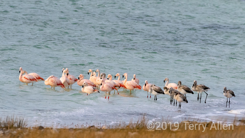 Adult and juvenile flamingoes by the shores of Lago Amargo, Torres del Paine, Patagonia