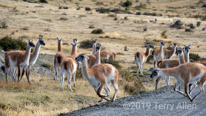 Domenant guanco chases off a competitor as his harem looks on, Torres del Paine, Patagonia