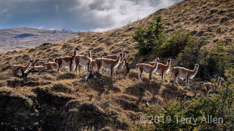 Herd of guanacos with rim light, Torres del Paine, Patagonia