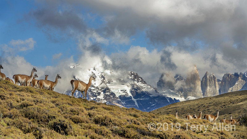 Herd of guanacos with a view, Torres del Peine, Patagonia