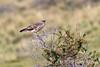 Chimango caracara (Milvago chimango) in a thorn bush, possibly juvenile, Lago Sarmiento, Patagonia