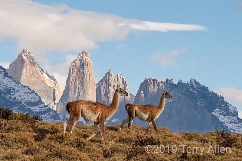 Pair of guanaco walking in front of the Torres del Paine, Patagonia