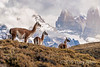 Gunacos on high ground with a view of Torres del Paine, Patagonia