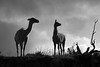 Silhoutetted guanacos
