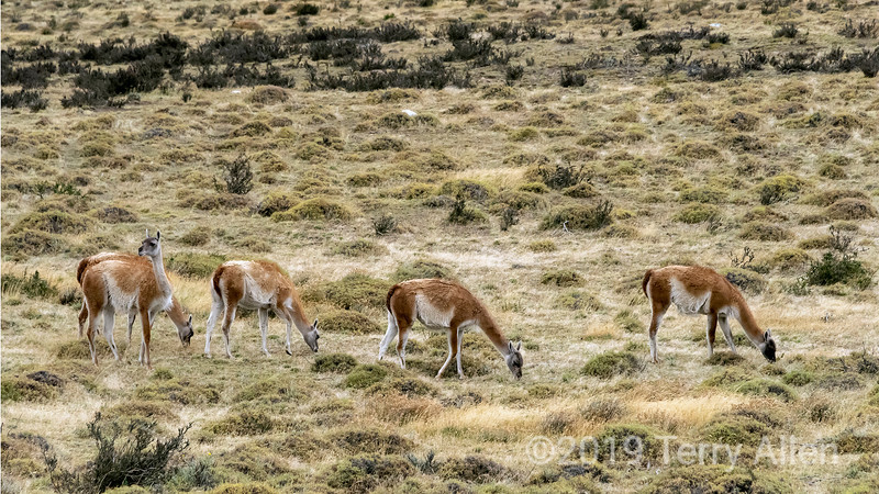 Grazing guanacoes in the fall on the pampas, Torres del Paine, Patagonia