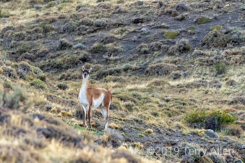 Guanaco alert to the present of a puma in ambush, Lago Sarmiento, Patagonia
