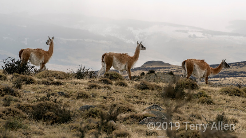 Trio of guancos walking across the pampas, Torres del Paine, Patagonia