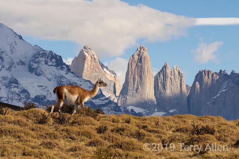 Lone guanaco walking by the granite spires of Torres del Paine, Patagonia