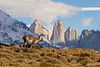 Lone guanaco walking by the granite spires of Torres del Paine, Patagonia