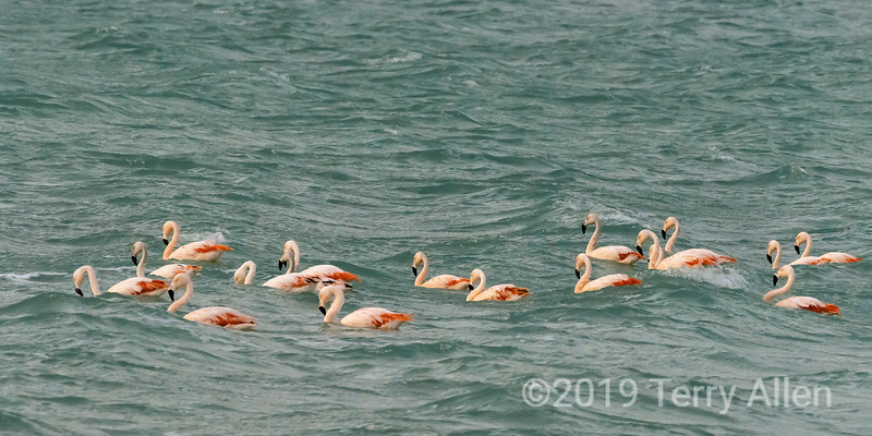 A flamboyance of flamingos rides the waves on Lago Amarga saline lake, Torres del Paine NP, Patagonia