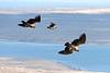 Juvenile Andean condors (Vultur gryphus) soaring near Cerro Palomares, Rio Verde, Patagonia