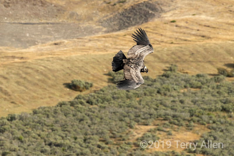 Juvenile Andean condor (Vultur gryphus) soaring over the fields near Cerro Palomares, Patagonia