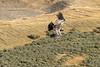 Juvenile Andean condor (Vultur gryphus) soaring over the fields near Cerro Palomares, Patagonia