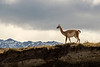 Lone guanaco walking along a ridge, Torres del Paine, Patagonia