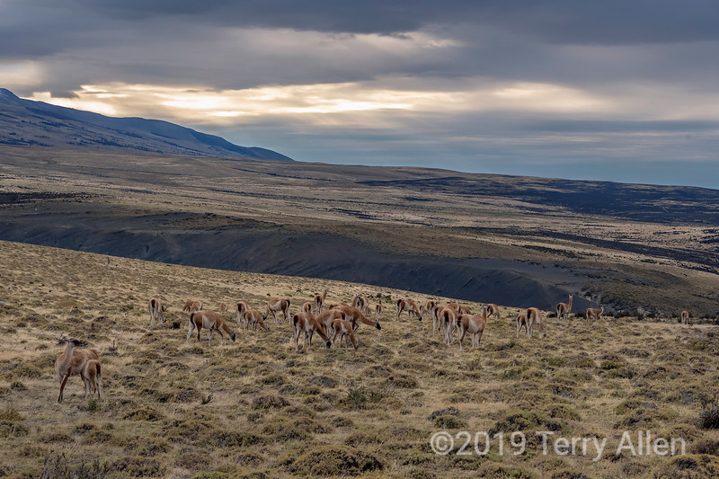 Herd of guancoes grazing at dusk on the pampas, Torres del Paine, Patagonia