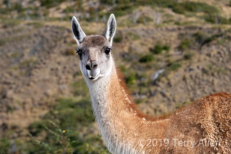 Portrait of a guanaco, Torres del Paine, Patagonia