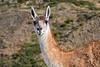 Portrait of a guanaco, Torres del Paine, Patagonia
