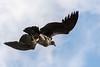 Soaring juvenile condor, Cerro Palomares, Patagonia
