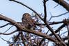 Austral pygmy owl (Glaucidium nana) with head turned forwards near Cerro Palomares, Patagonia