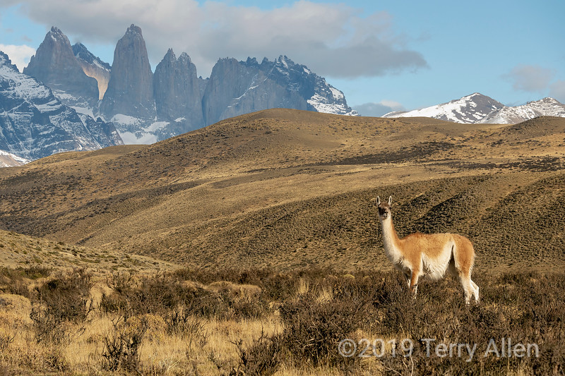 Guanaco standing alert near the Torres del Paine, Patagonia