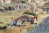 Battling guanacos