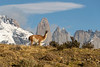Lone guanaco with the Torres del Paine, Patagonia