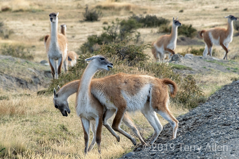 Two male guanacos fight for dominance, Torres del Paine, Patagonia