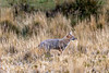 Andean fox (Lycalopex culpaeus) hunting in the tall dead grasses, Torres del Paine, Patagonia