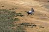 Adult condor soaring by Cerro Palomares, Patagonia