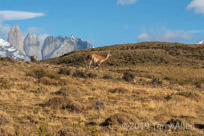 Guanaco on the move across the fall pampas, Torres del Paine, Patagonia