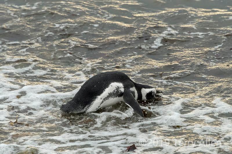 Magellanic penguin (Spheniscus magellanicus) going for a swim, Isla Magdelana, Chile
