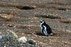 Older Magellenic penguin chick near dens, surrouonded by feathers, Magdelana Island, Chile