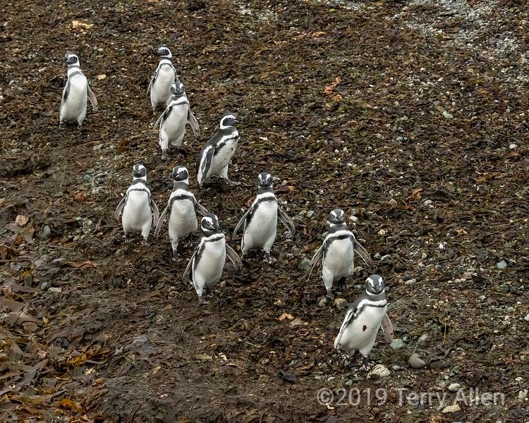 Ten Magellanic penguins take a beach walk, Isla Magdalena, Chile