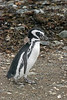 Almost fledged young Magellanic penguin with patches of downy feathers, Isla Magdelana, Chile