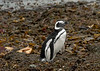 Magellanic penguin leaving the water with water droplets, Isla Magdelana, Chile