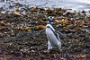 A walk on the beach, Magellenic penguin (Spheniscus magellanicus),  Isla Magdelena, Chile