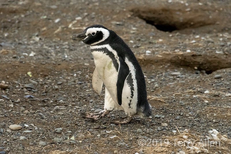 Young Magellanic penguin by some burrows, Ilsa Magdelana, Chile