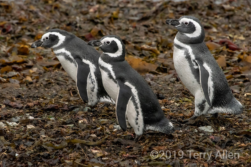 Trio of Magellanic penguins heading to the water, Isla Magdelana, Chile