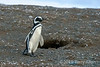 Magellanic penguin (Spheniscus magellanicus) standing by its den on Isla Magdalena, Strait of Magellan