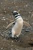 Young Magellanic penguin posing by its burrow, Isla Magdelana, Chile