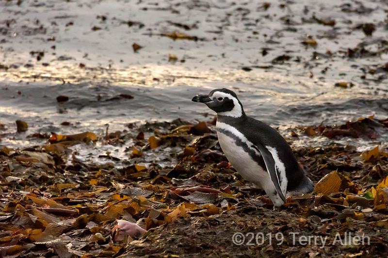 Magellanic penguin walkilng through kelp by the shore, Isla Magdela, Chile