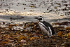 Magellanic penguin walkilng through kelp by the shore, Isla Magdela, Chile