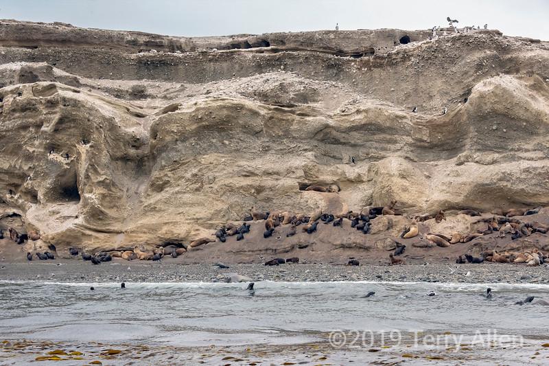 Patagonian sea lions (Otaria flavescens), Isla Magdelana, Strait of Magellan