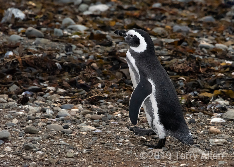 Adult magellanic penguin (Spheniscus magellnicus) just out of the water, Isla Magdelana, Chile