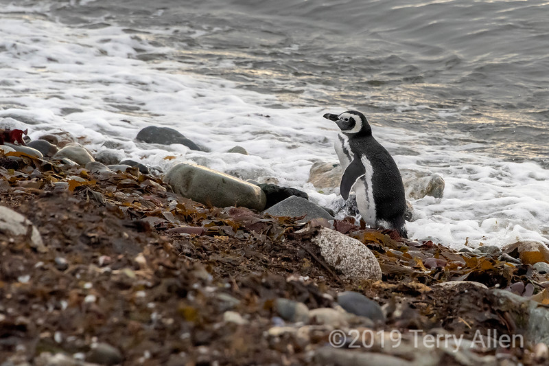 Indescision to enter the water or not, young Magellanic penguin, Isla Magdelana, Chile
