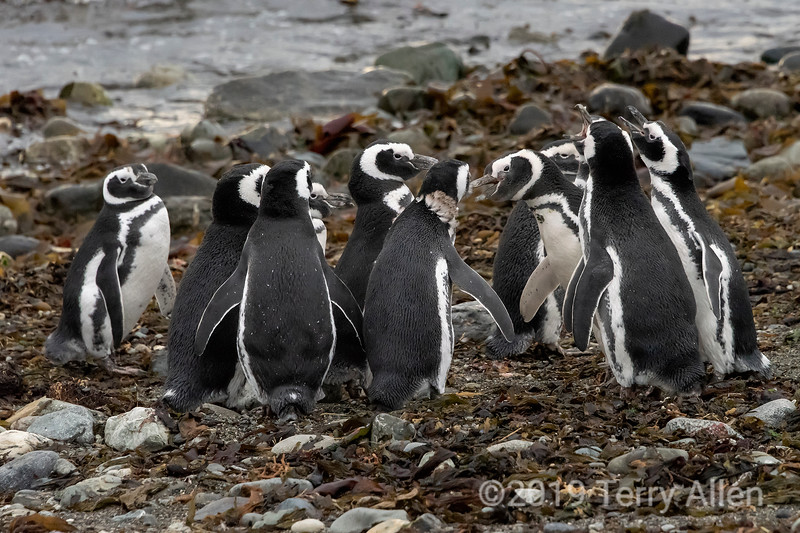 Stand-off, a raft of young Magellaic penguins face to face, Isla Magdelana, Chile