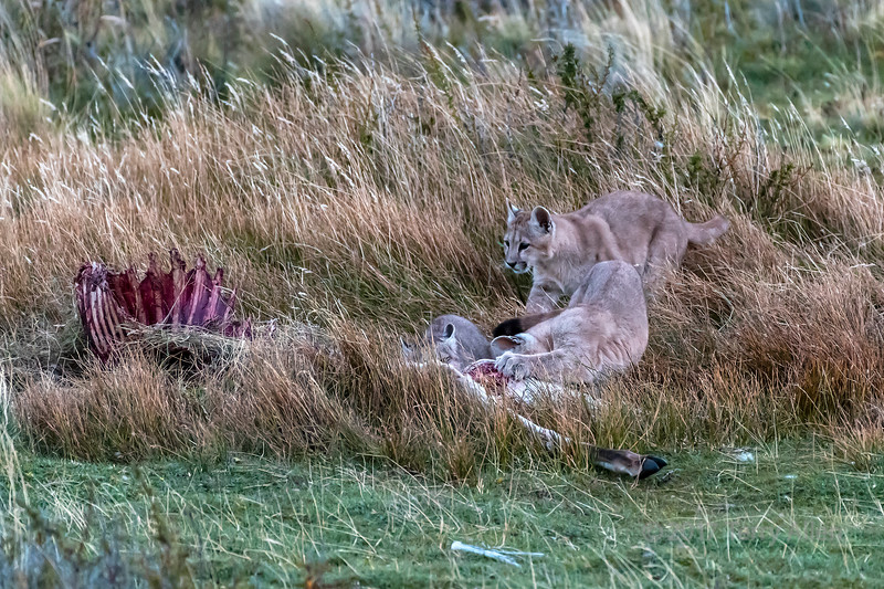 Three puma kittens after dark feeding on a guanaco carcass, Lago Sarmiento, Patagonia