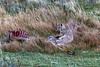 Three puma kittens after dark feeding on a guanaco carcass, Lago Sarmiento, Patagonia