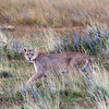 Female puma spots me and my camera, Lago Sarmiento, Patagonia
